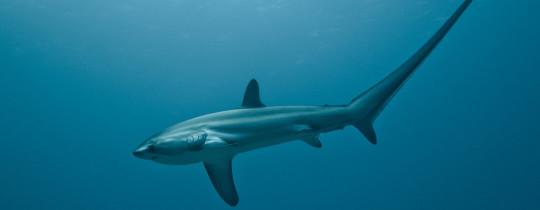 Thresher Shark (Voshaai) - Malapascua Island, Provincie Cebu, Central Visayas, Filipijnen