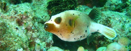 Black Spotted Puffer Fish - Apo Island, Central Visayas, Filipijnen