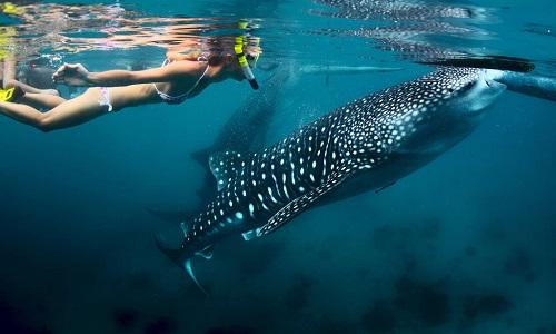 Zwemmen met Walvishaaien - Oslob, Cebu, Filipijnen